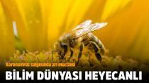 Koronavirüs salgınında arı mucizesi...
